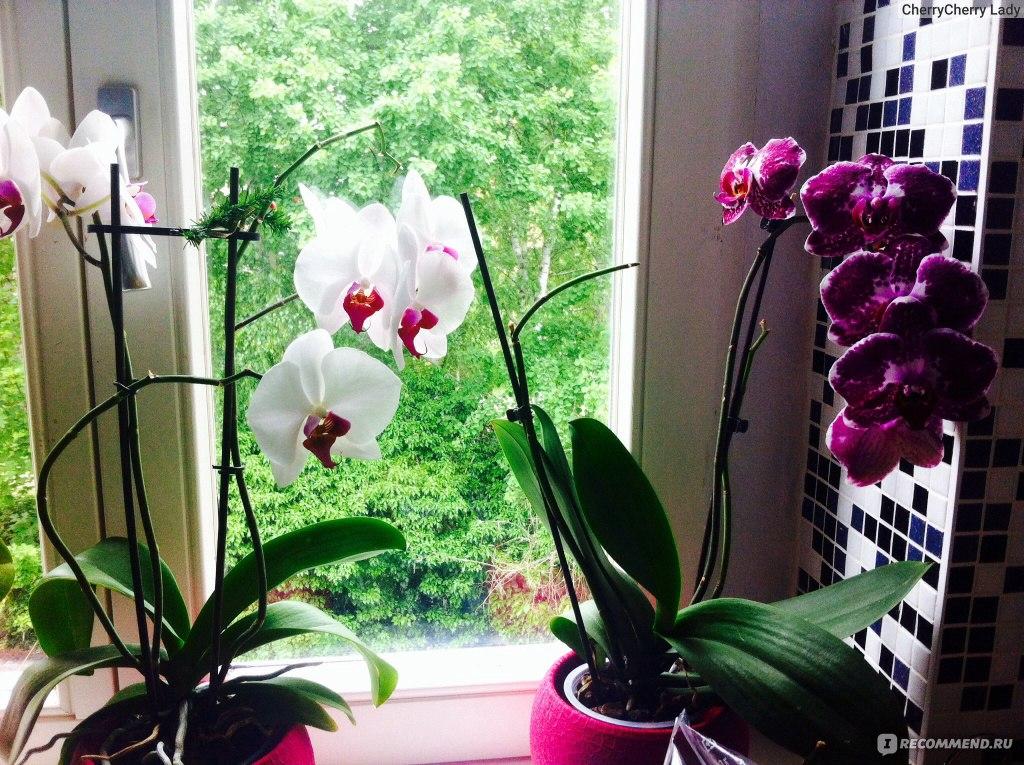 Полив и уход за орхидеей в домашних условиях