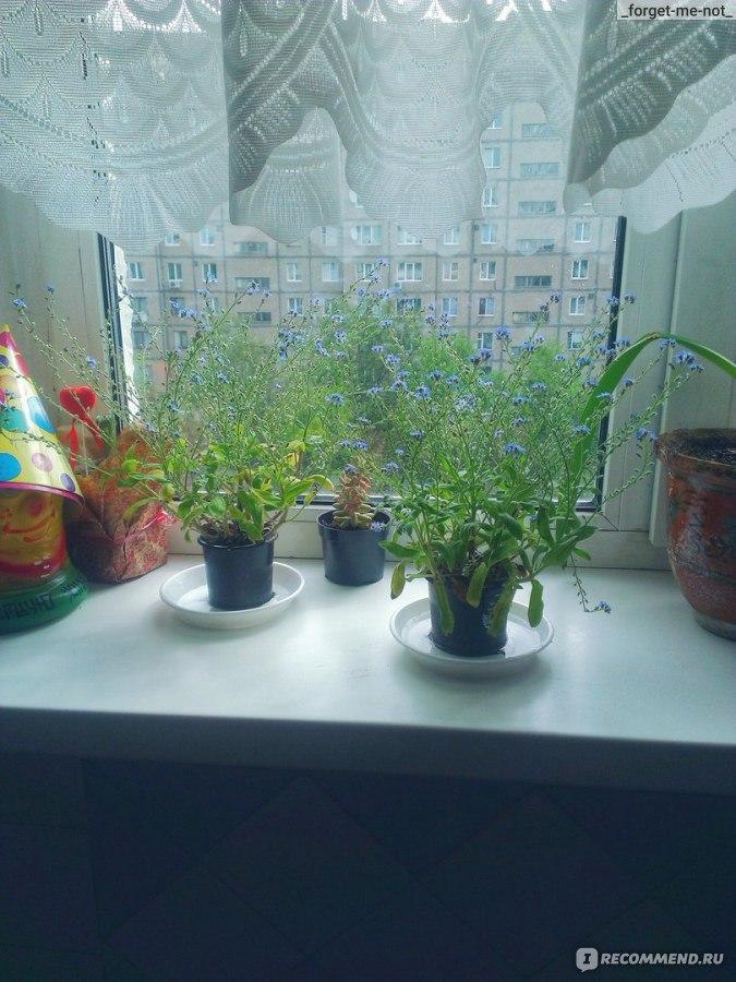 Как сажать незабудки из семян 884