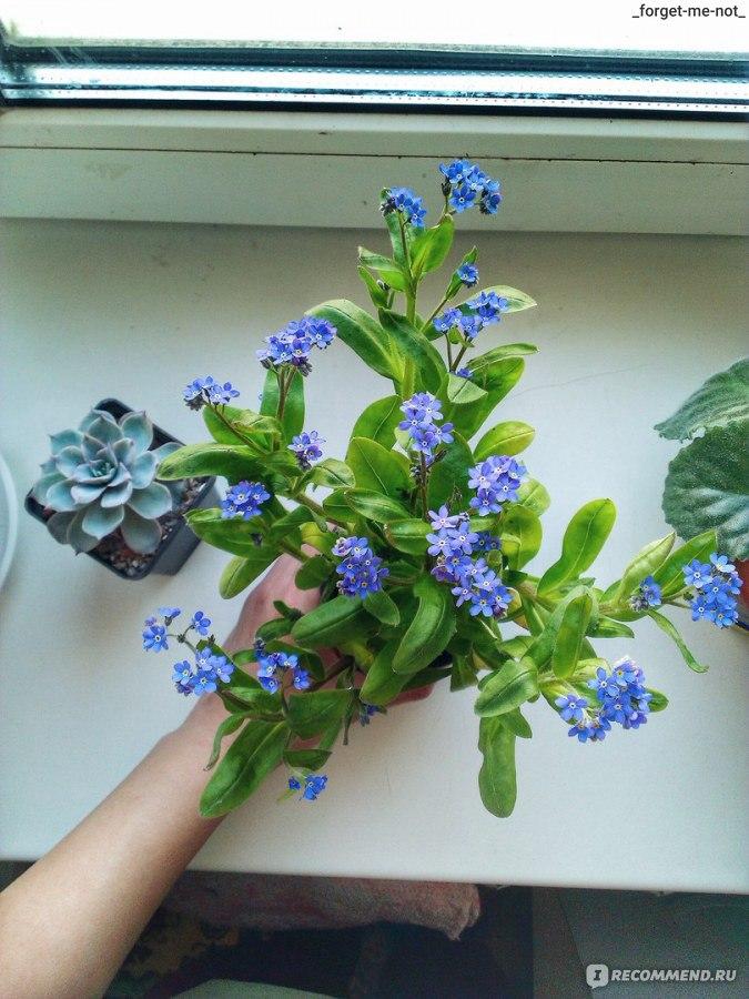 Как сажать незабудки из семян 147