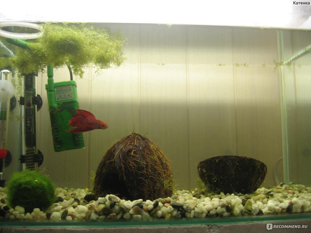 Как ухаживать за рыбкой петушок в домашних  900