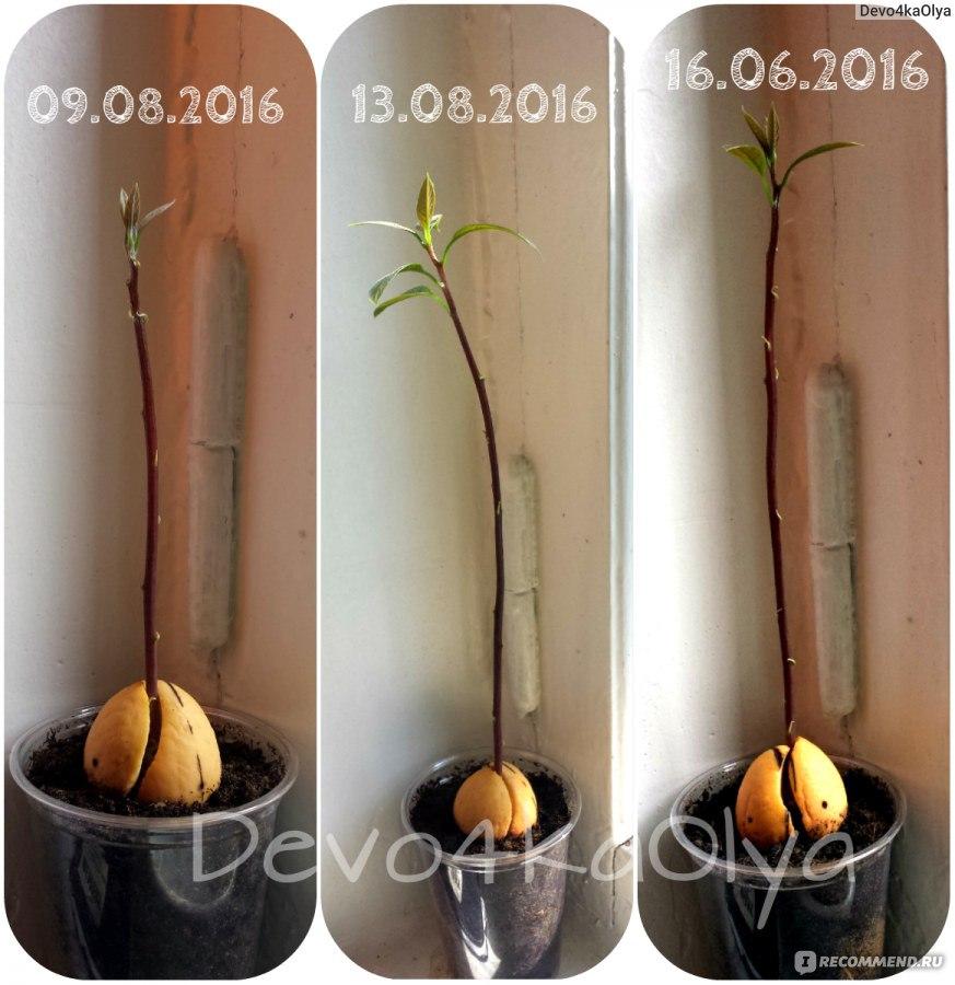 Как прорастить авокадо из косточки в домашних условиях фото