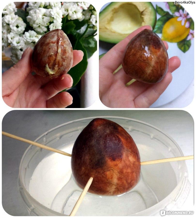Авокадо из косточки в домашних условиях чтобы были плоды 65