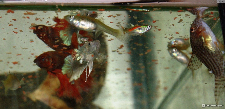 Как ухаживать за рыбкой петушок в домашних  847