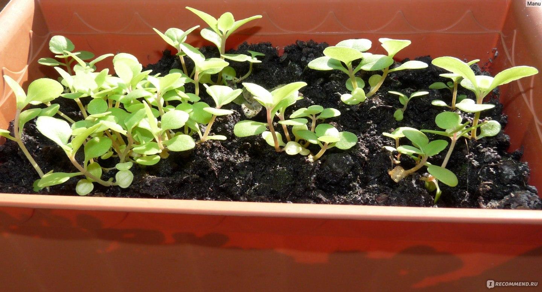 Выращивание наперстянки из семян 69