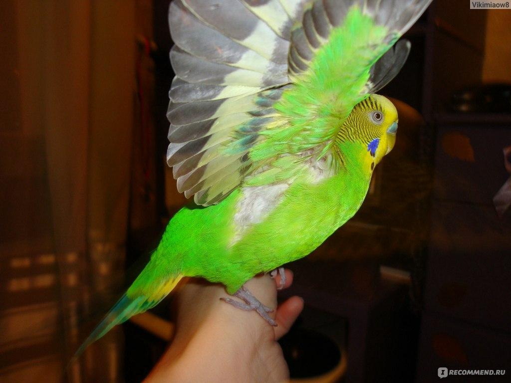Сонник попугайчик волнистый
