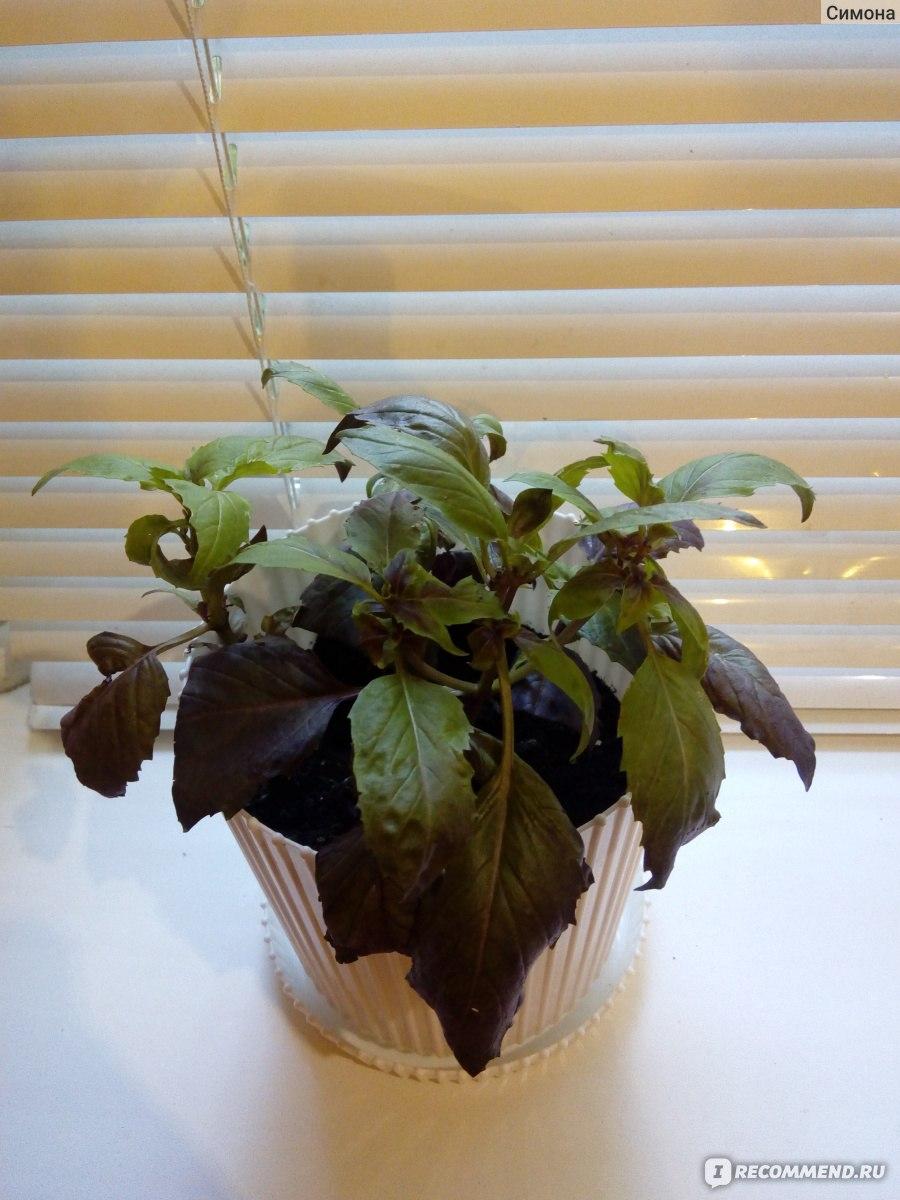 имеет два базилик выращивание в квартире с фото оборотной стороне