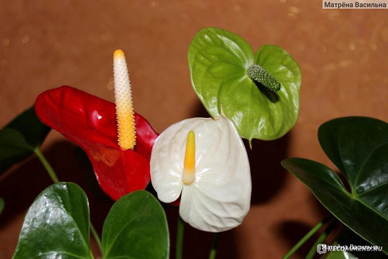 Как размножить мужское счастье цветок