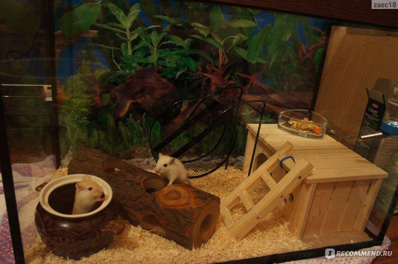Чем кормить песчанок в домашних условиях видео