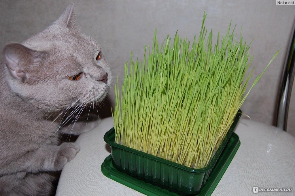 Какую траву сажают для кошек 24