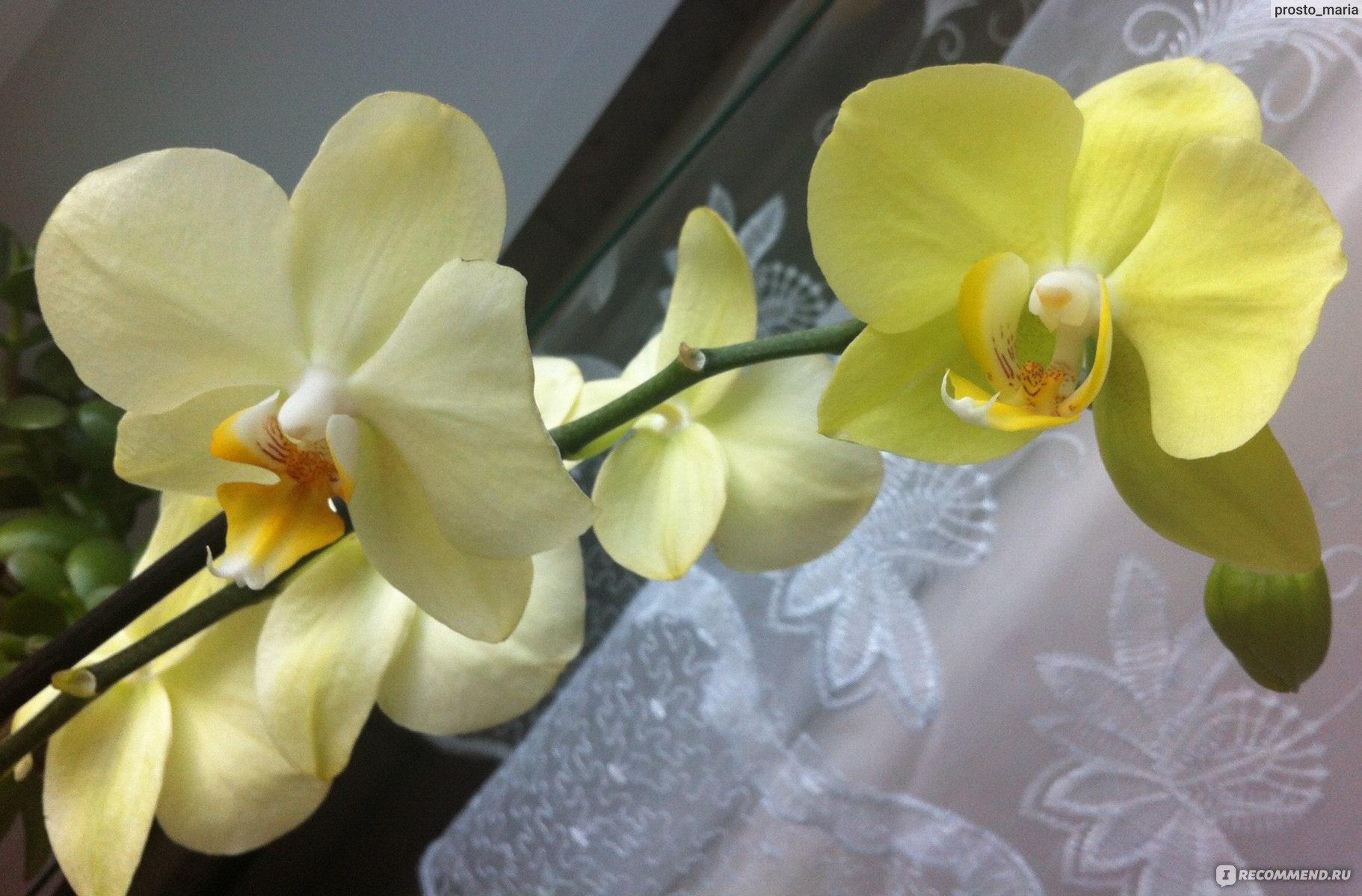 Голубая орхидея уход в домашних условиях фото