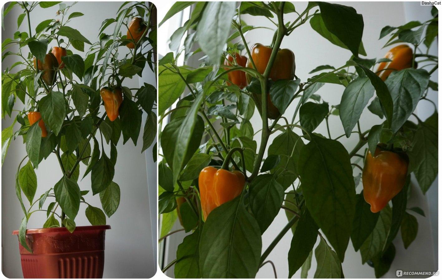 Перец «Огонек» выращивание в домашних условиях 84