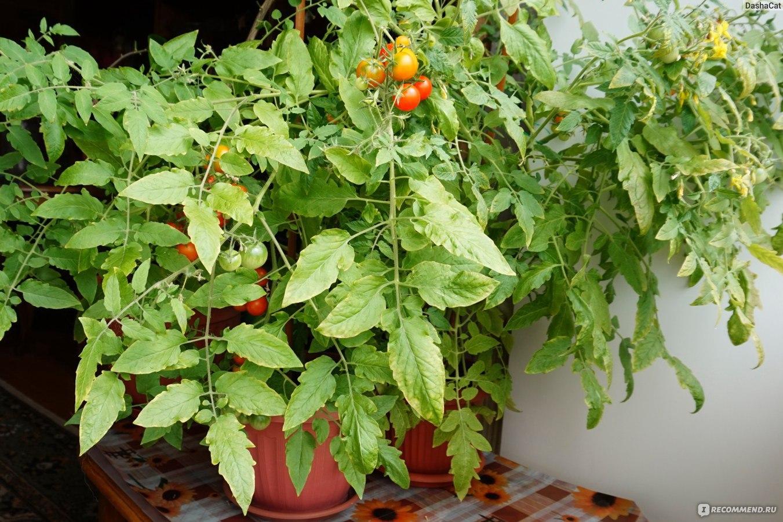 Выращивание помидоры на подоконнике фото