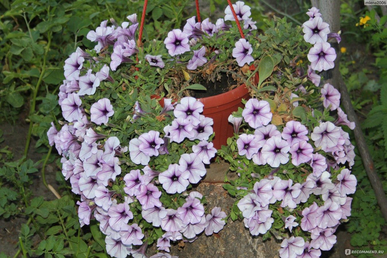 Цветы петунии — посадка и уход за этими прекрасными цветами фото