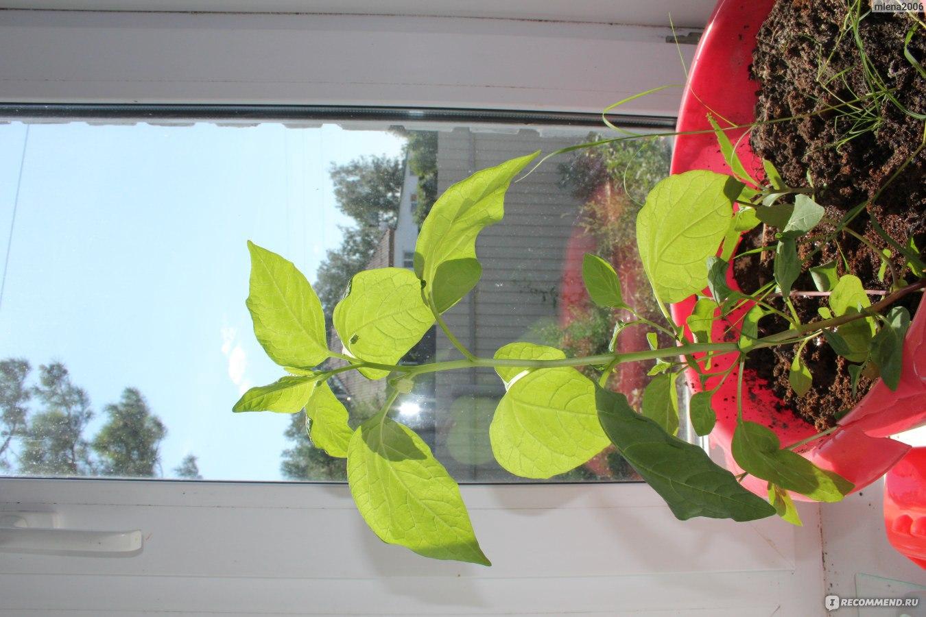 Выращивание фуксии из семян фото 94