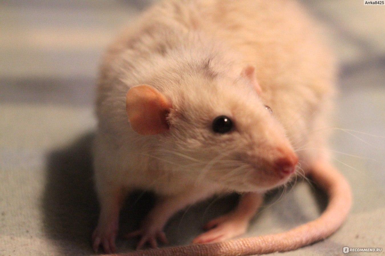 Домашние декоративные крысы: виды, породы и окрасы