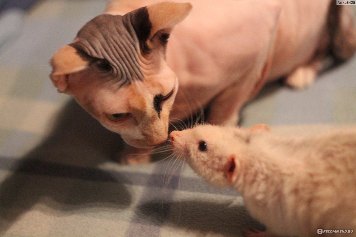 Фото крысы в домашних условиях