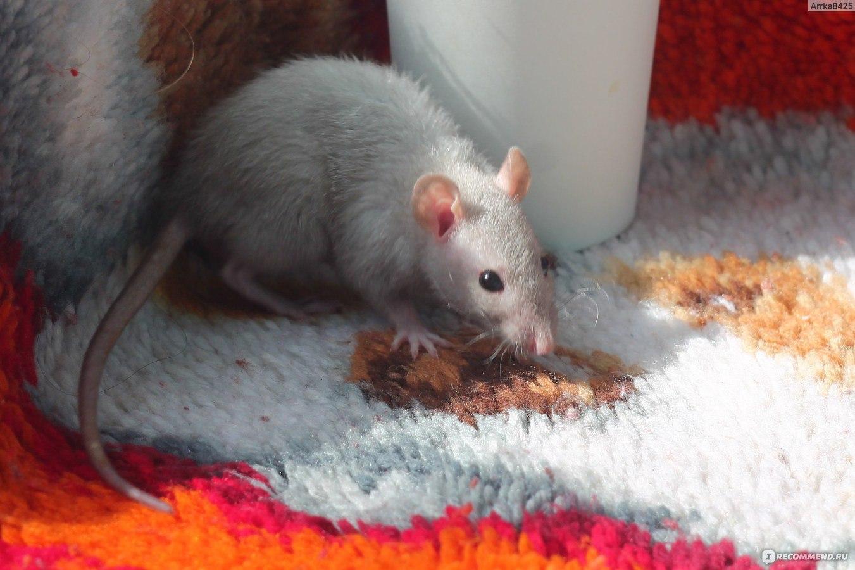 Декоративные крысы, описание, разновидности, уход, содержание 15