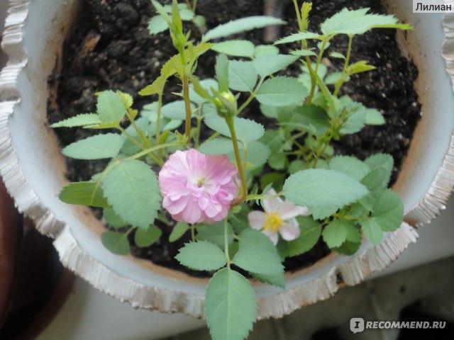 Роза крылья ангелов выращивание из семян фото отзывы 4