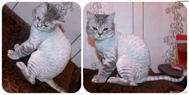 стриженные коты британцы фото