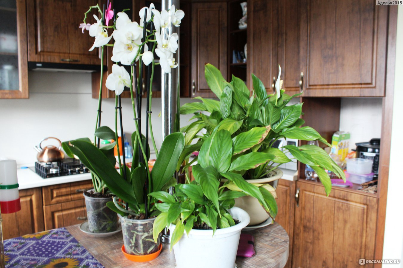 Фото и название домашних цветов самые неприхотливые