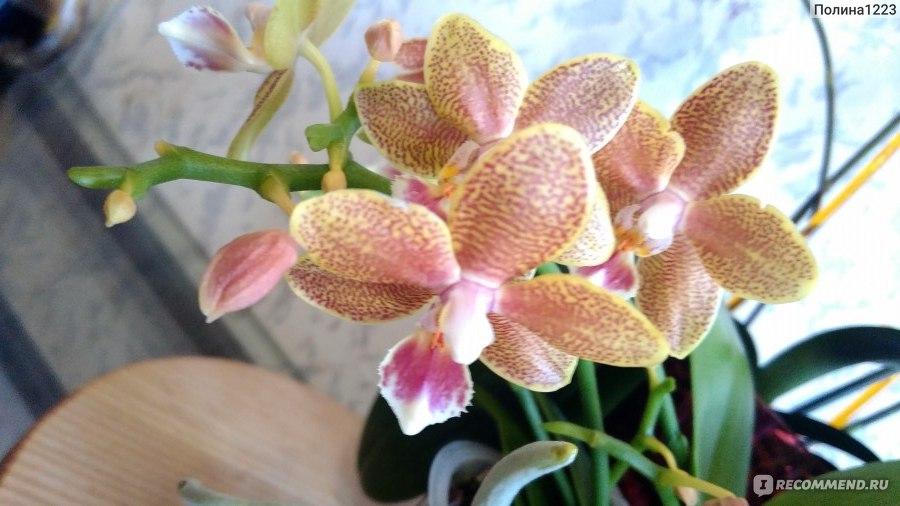 Уход за орхидеями-башмачками в домашних условиях 923
