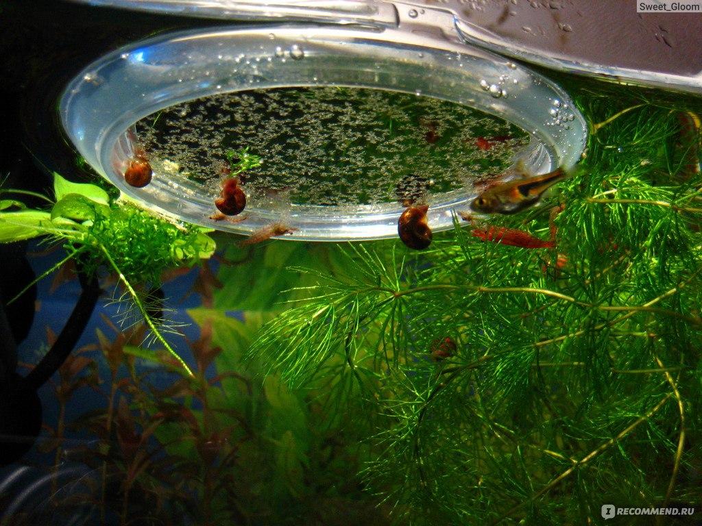Креветки вишня совместимость с рыбами