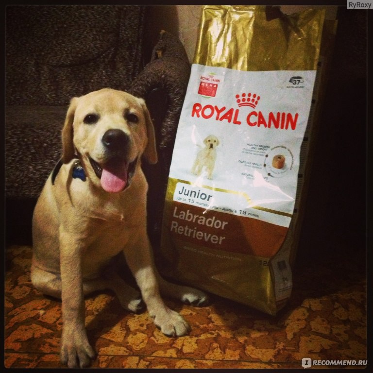 royal canin labrador retriver junior. Black Bedroom Furniture Sets. Home Design Ideas