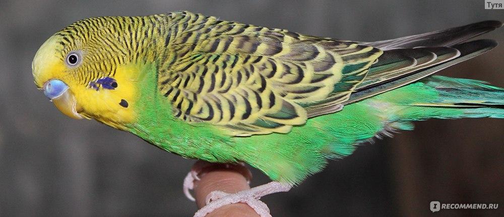 Волнистые попугай кеша видео