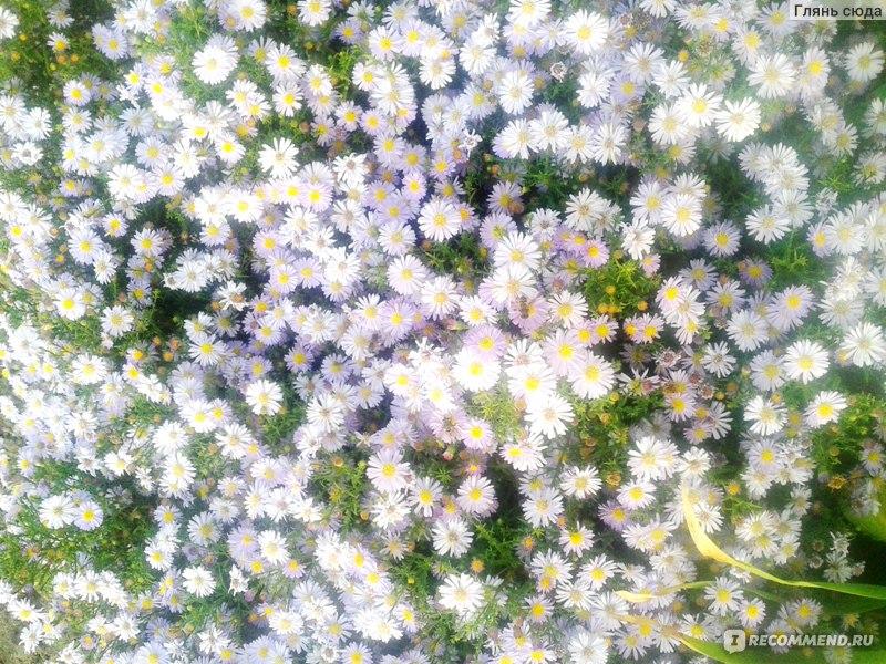 Цветок ромашка стих о нем