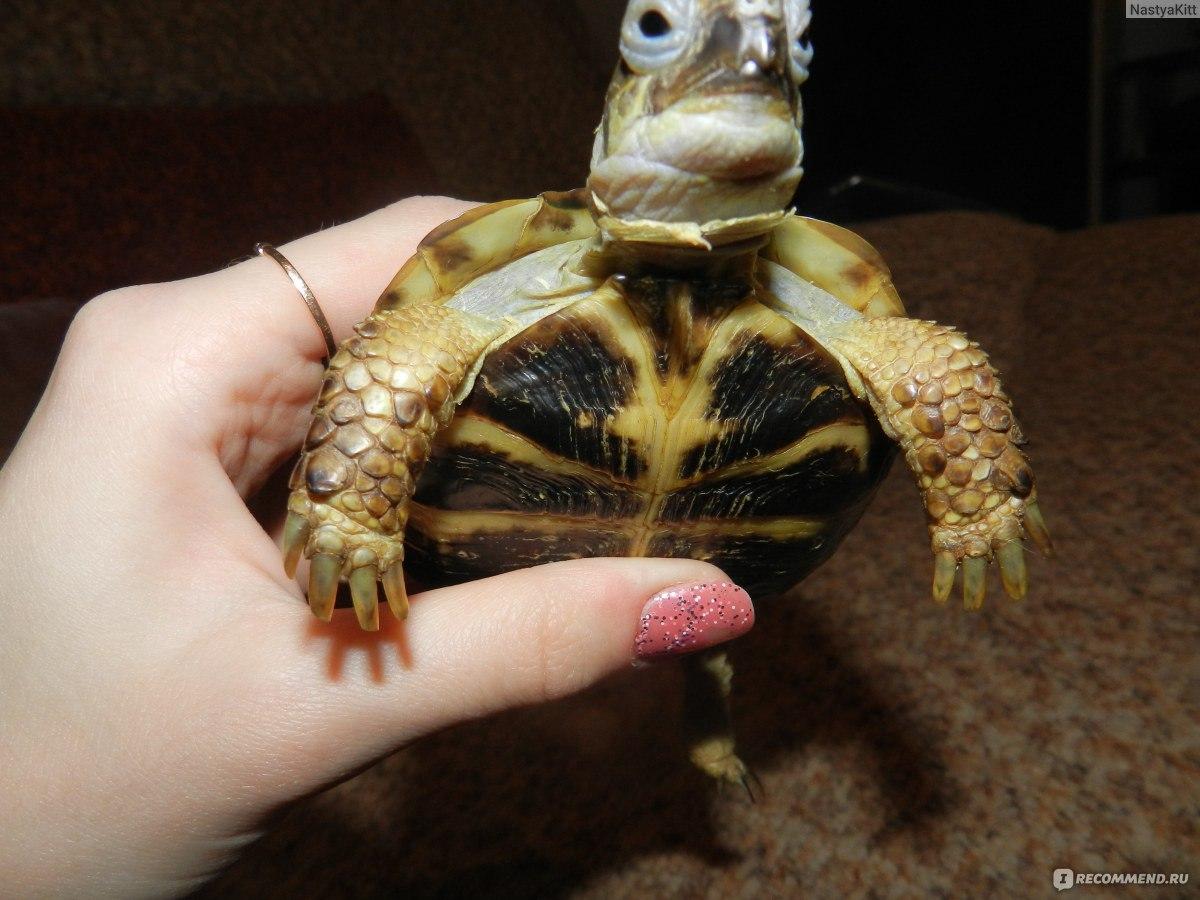 Красноухая черепаха 68