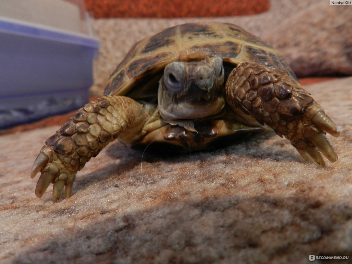 Фото сухопутных черепахах в домашних условиях