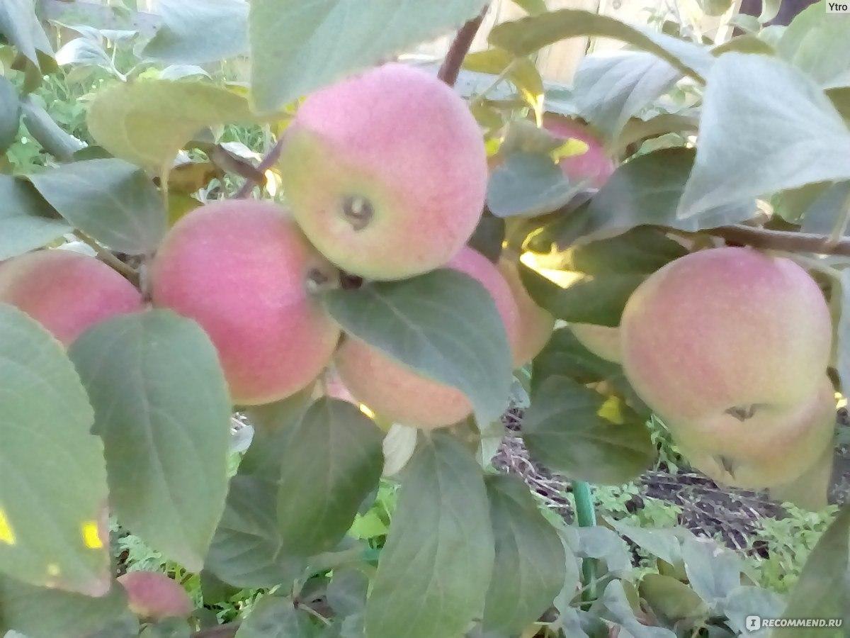 Подарок садоводу сорт яблони 29