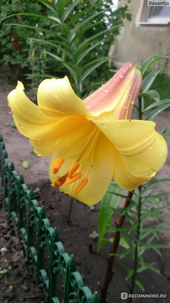 Вандершут цветок