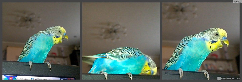 Как быстро научить волнистого попугая разговаривать