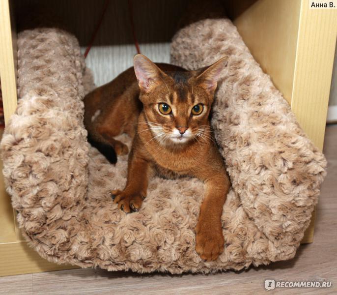"""Абиссинская кошка - """"Кошачий Бог красоты. Абиссинец МАЙ ЦЕЗАРЬ, и как мы с ним живем :) Отзыв обновлен через 6 лет."""" Отзывы поку"""