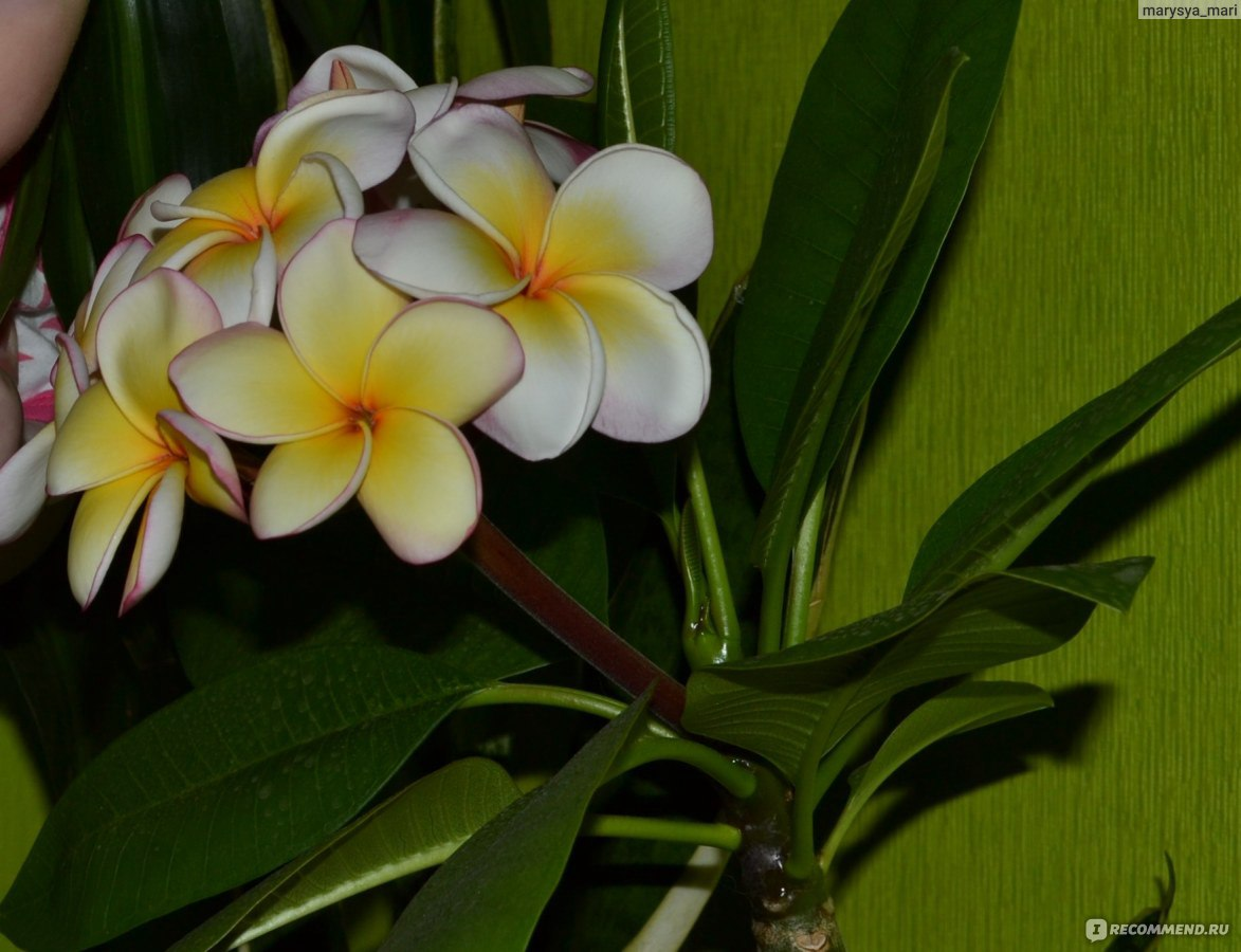 Плюмерия семенами в домашних условиях фото