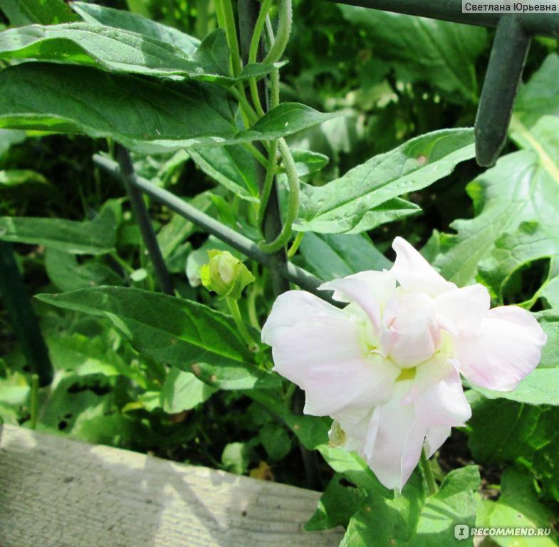 Калистегия выращивание и уход фото 63