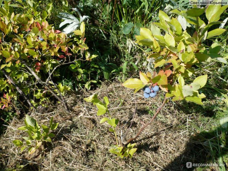 Голубика садовая посадка в подмосковье и уход отзывы