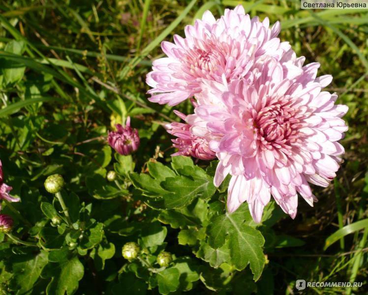 Дубки цветы описание и