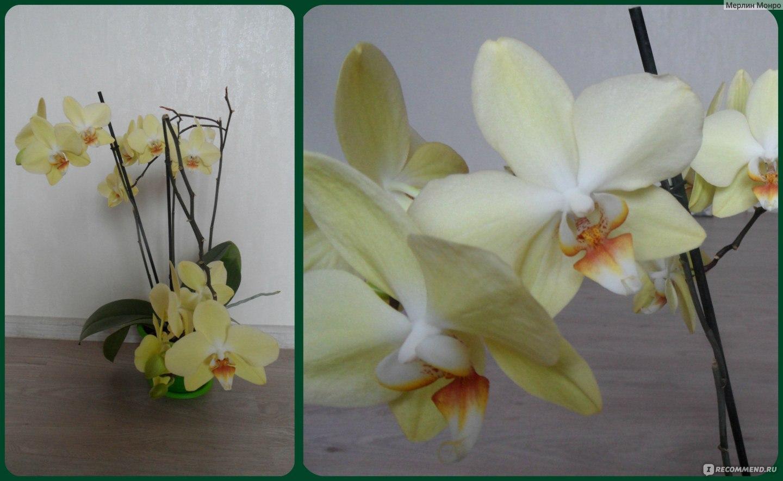 Уход за орхидеей афродита в домашних условиях 160