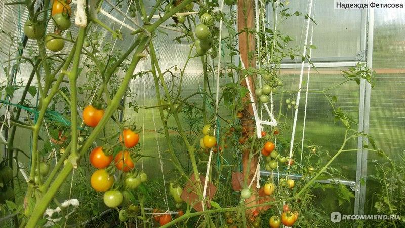 Удобрение от фитофторы помидоры