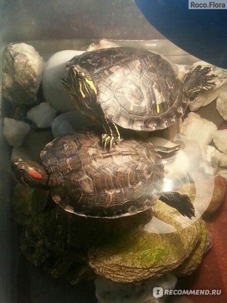 До каких размеров вырастает черепаха в домашних условиях 889