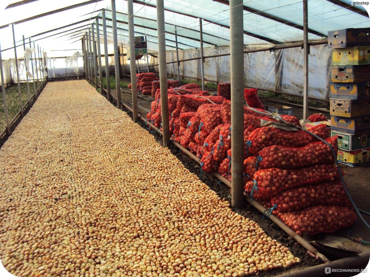 Бизнес по выращиванию зеленого лука 77