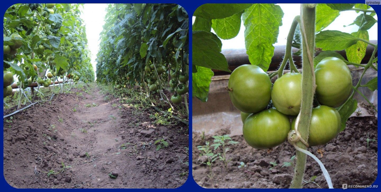 Пинк уникум томат выращивание 85
