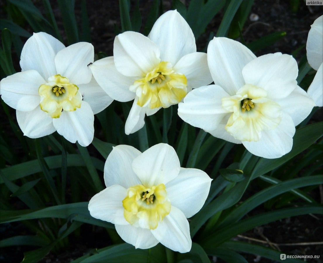 Нарцисс в домашних условиях 480