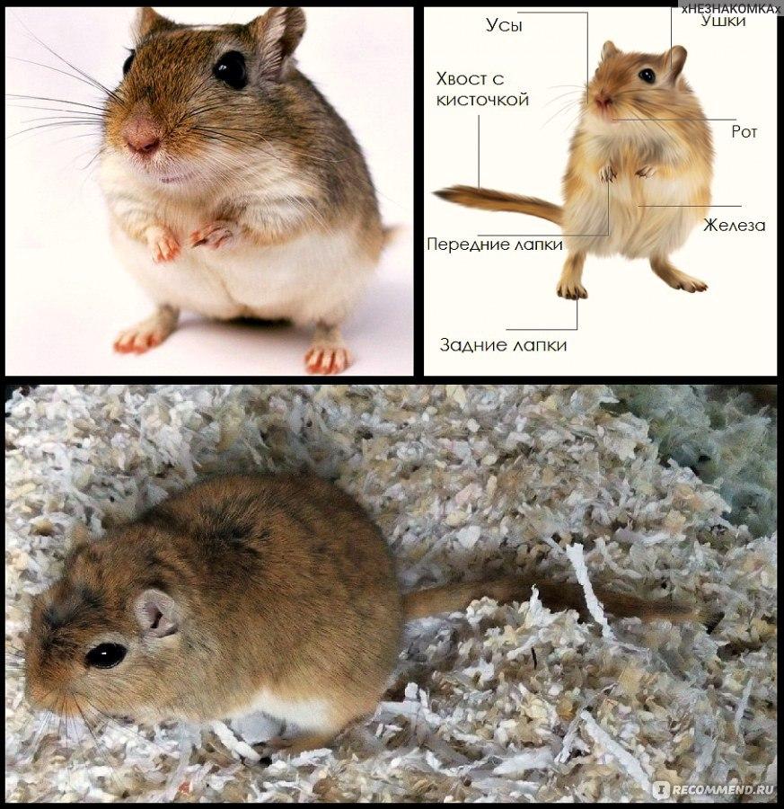 мышка песчанка