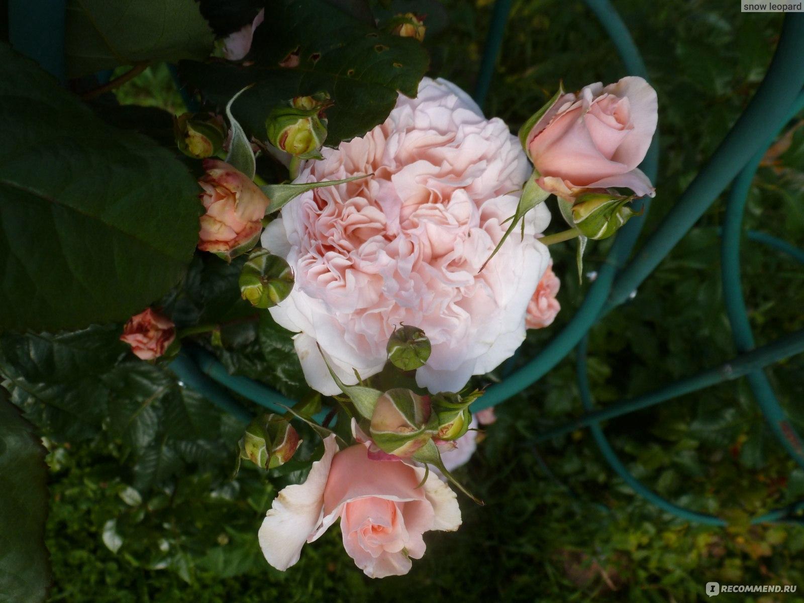 роза де толбиак от кордеса фото это очень