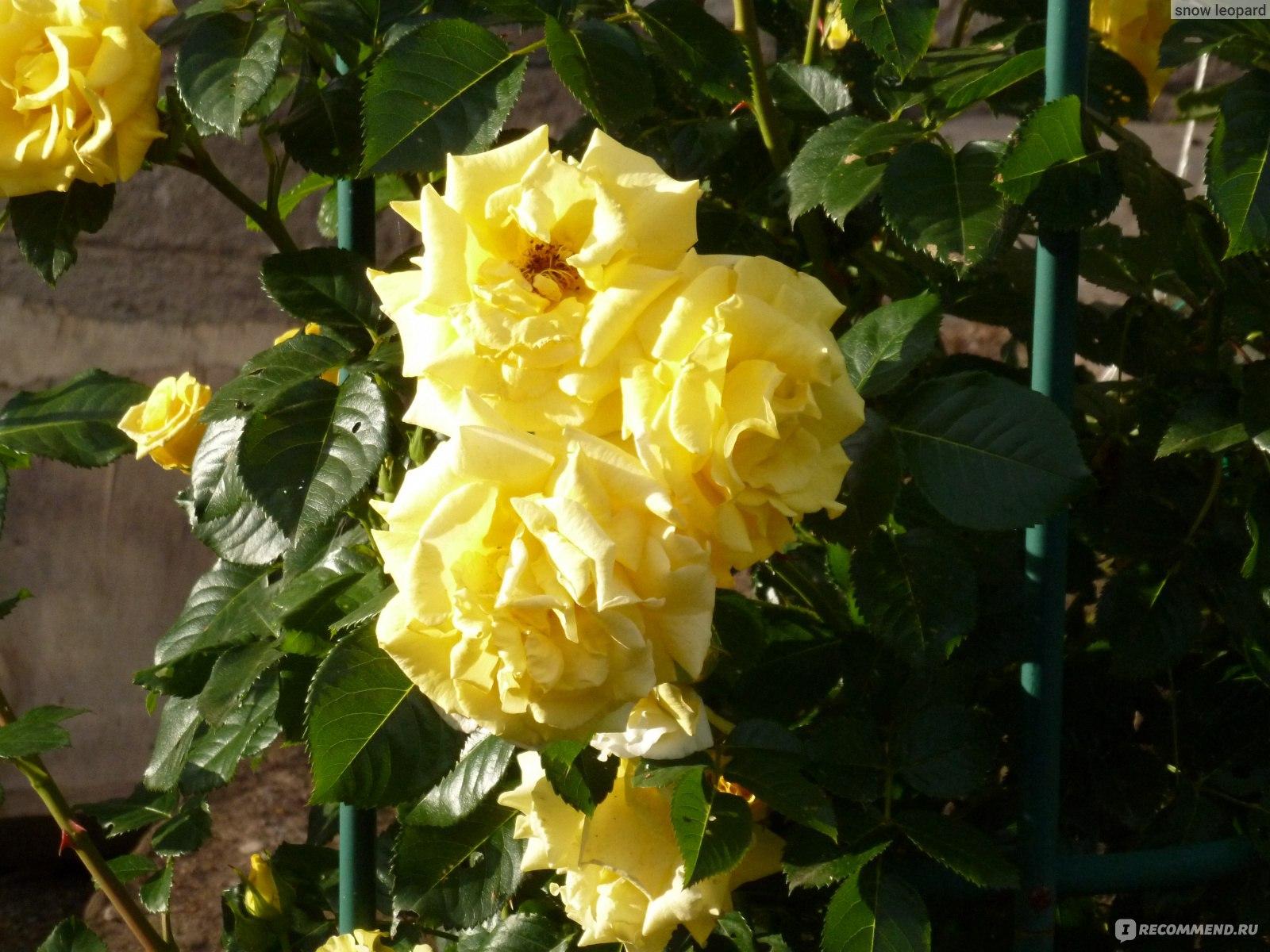 казино роза отзывы
