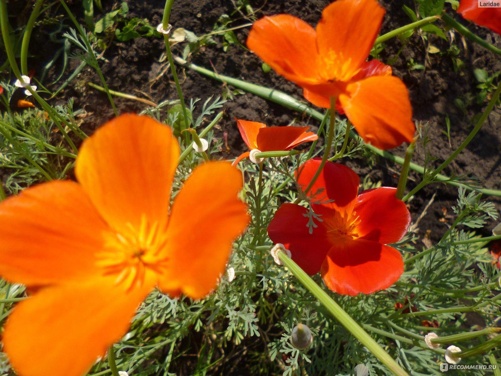 Семена эшшольции фото