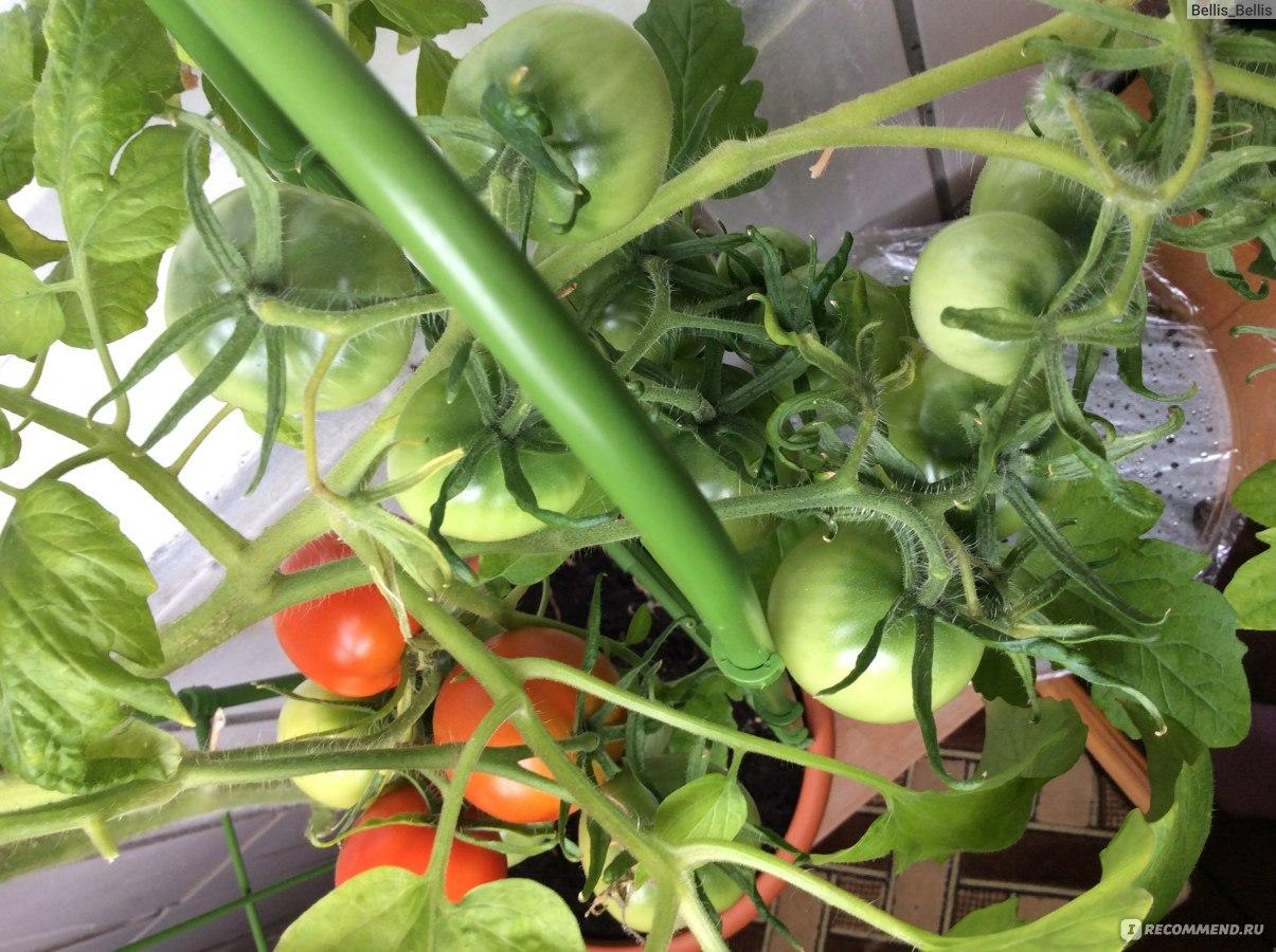 Секрет выращивания помидоров